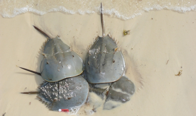 crab mating